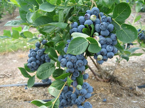 碧云湖蓝莓庄园