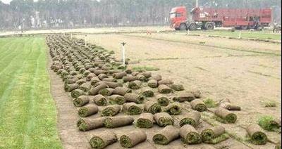 俊杰草坪种植基地